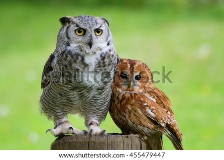Tawny owl (Strix aluco) and Great horned owl (Bubo virginianus) at the stake together - stock photo