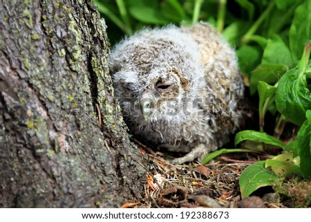 Tawny Owl (Strix aluco) Chick or Owlet snoozing at the base of a tree. Taken in Scotland, UK. - stock photo