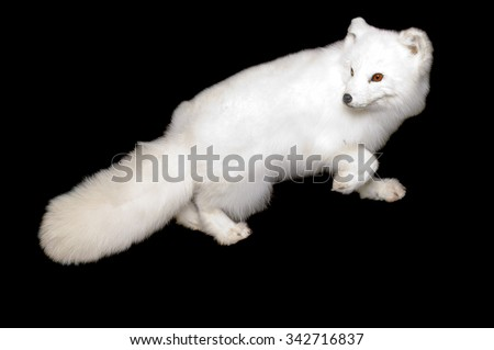Taxidermy full body mount of a an Arctic fox in its white winter phase isolated on black - stock photo
