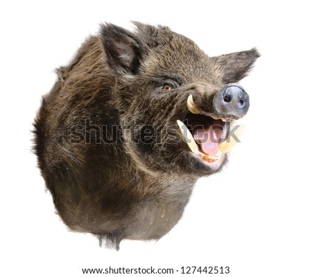 Taxidermy mount of a Sus Scrofa, (Wild Boar) isolated on white - stock photo