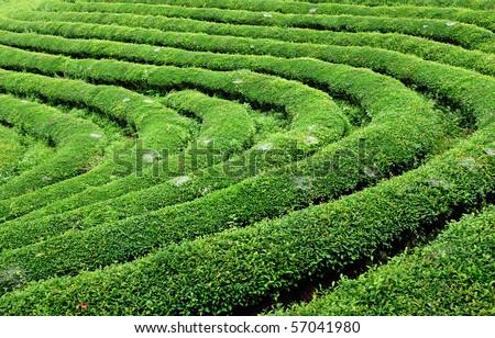 tea farm - stock photo