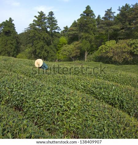 tea farmers pick tea - stock photo