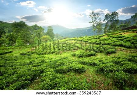 Tea fields of Nuwara Eliya in mountains - stock photo