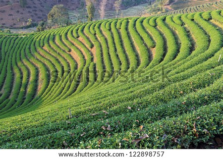 Tea garden in Thailand - stock photo
