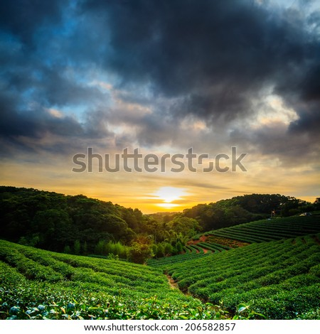 Tea garden sunset for adv or others purpose use - stock photo