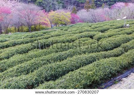 Tea Garden with cherry blossom - stock photo