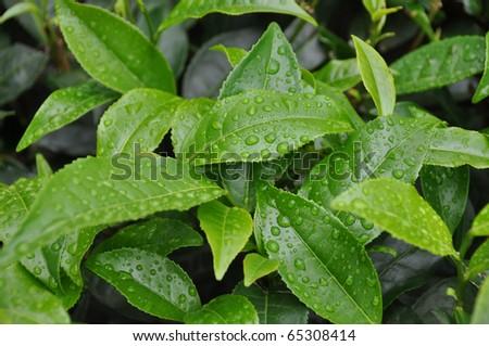 tea gardens in south india asia - stock photo