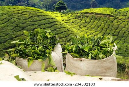 tea harvest on tea plantation - stock photo