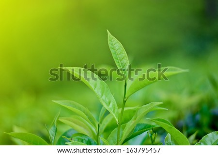 Tea Leaf with morning golden sunlight - stock photo