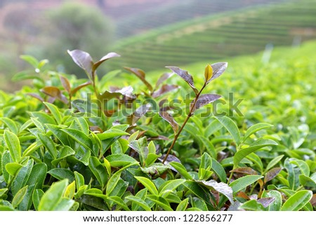 Tea Leaf with morning in gardent - stock photo