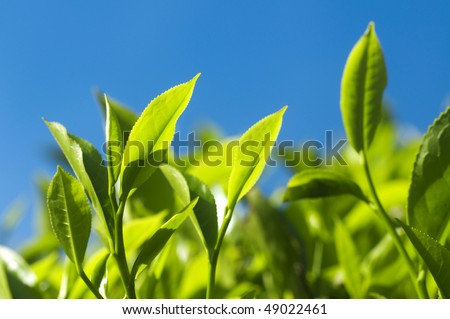 Tea Leaves. Close up tea leaves with morning sunlight, Cameron Highland Malaysia. - stock photo