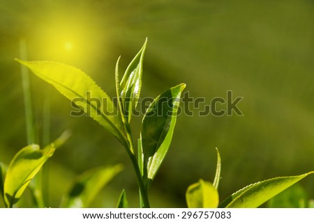 Tea leaves on green background in Munnar. Kerala. India - stock photo