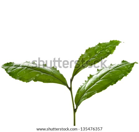 Tea Leaves Plant isolated on a white background - stock photo