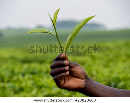 tea leaves shown by an African  - stock photo