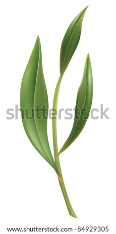 Tea leaves, young saplings. illustration, isolated on a white. - stock photo