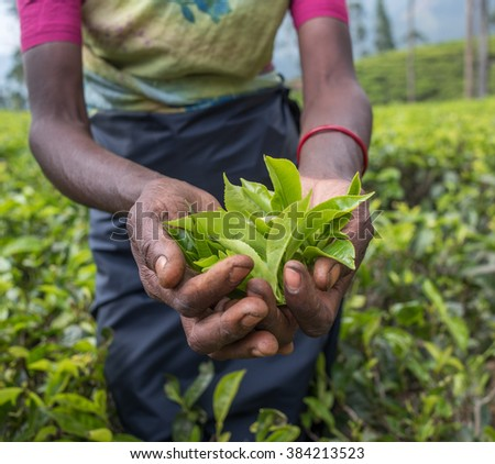 Tea pickers in Nuwara Eliya, Sri Lanka - stock photo