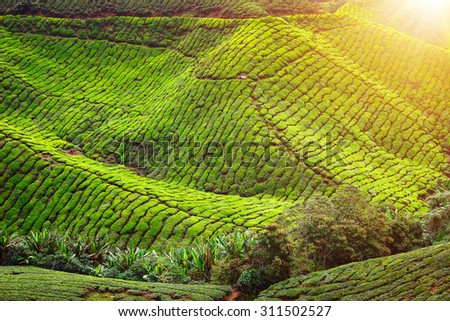 Tea plantation and lonley tree in sunset time. Nature background - stock photo