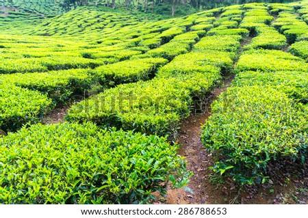 tea plantation at cameron highland malaysia - stock photo
