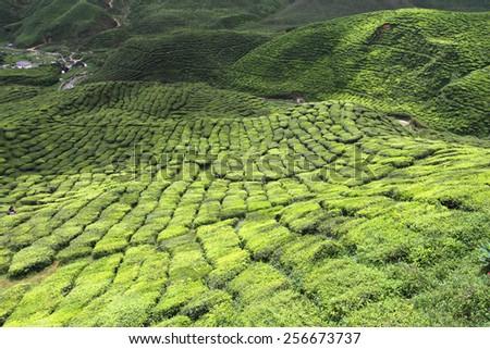 Tea plantation at the Cameron Highland, Malaysia  - stock photo