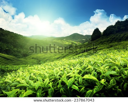 Tea plantation Cameron highlands, Malaysia - stock photo