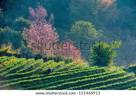 Tea plantation Cherry blossom sakura flower thailand - stock photo