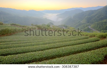 Tea plantation fields at dawn with morning fog in the distant valley, in Pingling, Taipei, Taiwan ~ Bright version~ - stock photo