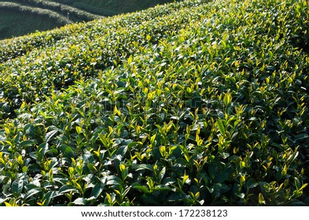 Tea plantation in morning sunlight - stock photo
