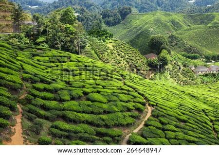 Tea plantation in the mountains of Cameron Highlands, Malaysia - stock photo