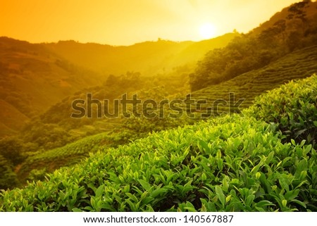 Tea plantation landscape at sunrise - stock photo