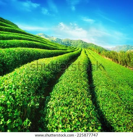Tea plantation landscape under blue cloudy sky. Chaing Rai province, Thailand - stock photo