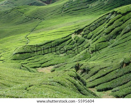 Tea plantation on hill in Asia - stock photo