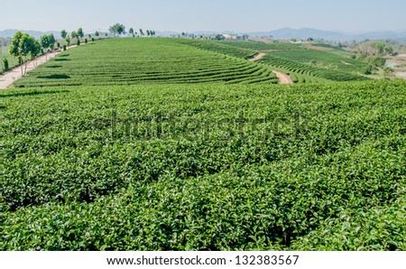 Tea plantation on hill in thailand - stock photo