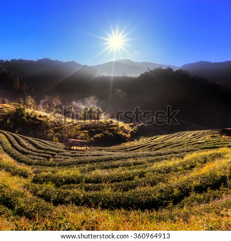 Tea plantation on misty morning with sun radius at Doi Ang Khang in Chiang Mai, THAILAND. - (In the wind motion blur) - stock photo