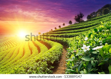 Tea Plantations - stock photo
