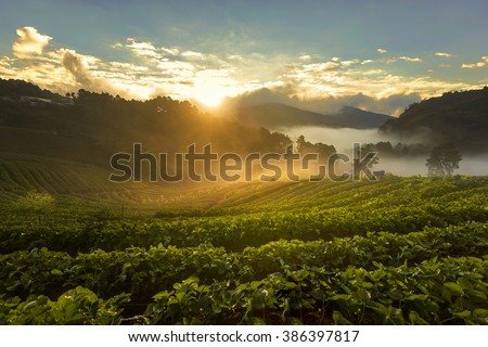 Tea Plantations at Angkhang Thailand. Sunrise in early morning with fog - stock photo