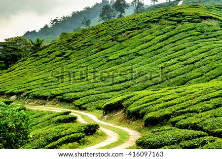 tea plantations in Cameron highlands in the north of Malaysia - stock photo