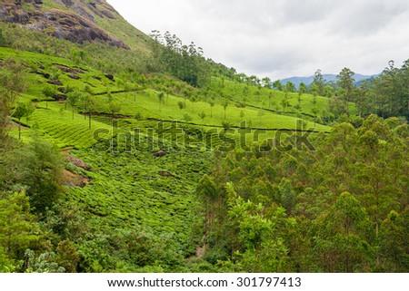 Tea plantations munnar india - stock photo