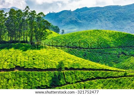 Tea plantations. Munnar, Kerala, India - stock photo