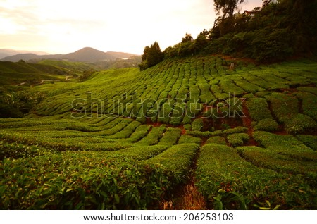 Tea Plantations on Terrace Hills at Cameron Highlands, Malaysia - stock photo