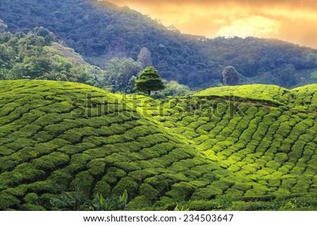 tea plantations sunset - stock photo