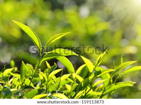 tea plants in sunbeams - Munnar Kerala India - stock photo
