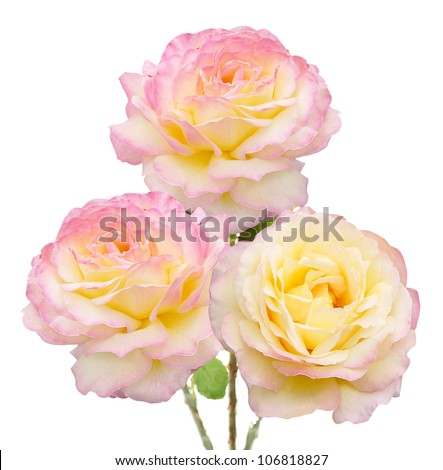 Tea roses bunch isolated on white background - stock photo