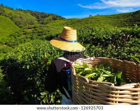 Tea Worker picking tea leaves in a tea plantation Cameron Highlands Malaysia - stock photo