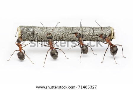team of ants carries log, work in cooperation,  teamwork - stock photo