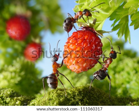 team of ants gathering strawberry, agriculture teamwork - stock photo
