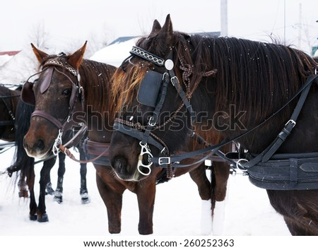 Team of Canadian horses in winter agility race - stock photo