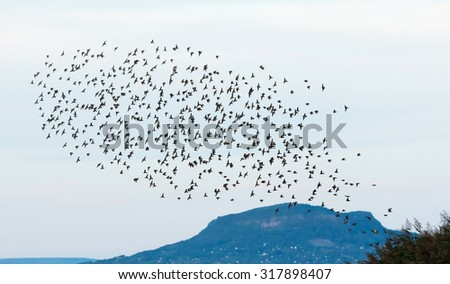 Team of starlings flying - stock photo