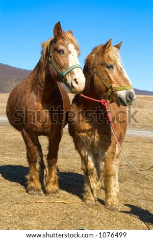 Team of Work Horses Standing Together - Front - stock photo