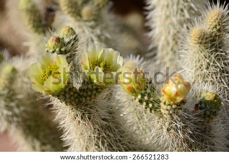 Teddy Bear Cactus with Yellow Flowers   - stock photo