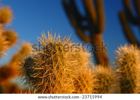 Teddy Bear Cholla against Saguaro and sky - stock photo